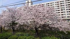 2019年4月6日 桜!